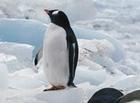 考えるペンギン
